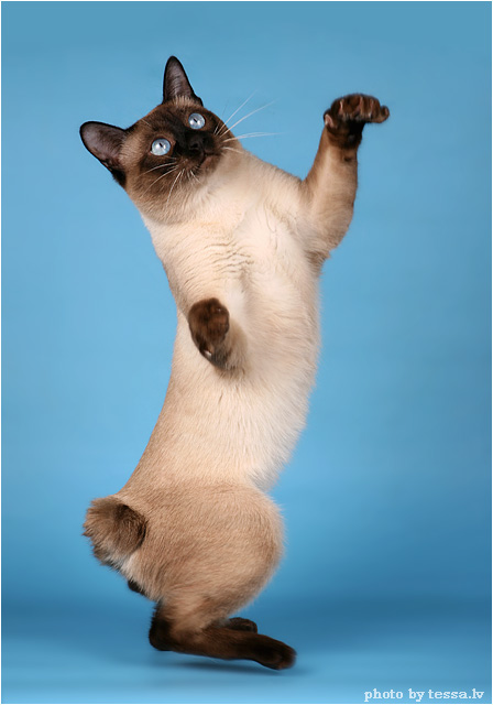 абиссинская кошка голубая. кот